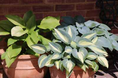 Hostas by front door