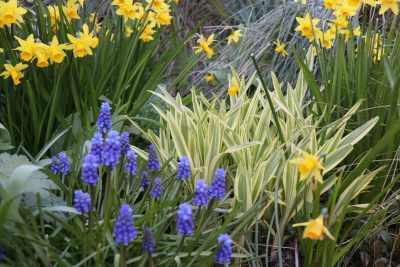 March 2020 Grape hyacinths