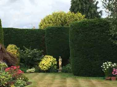 Leylandii Hedges - Just been trimmed