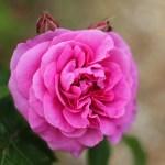 David Austin Gertrude Jekyll Rose