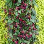 Fuchsia Lady in Black_T&M USEnew