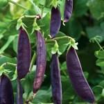 Purple Mangetout 'Shiraz'