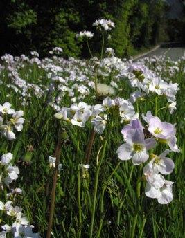 cardamine pratensis, cuckoo flower/Ladies smock