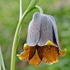 fritillaria_pyrenaicia_pyrenean snakeshead