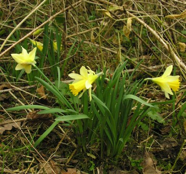 narcissus_pseudo, narcissus_daffodil