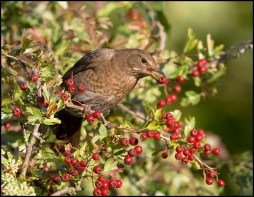 Blackbird eating haws
