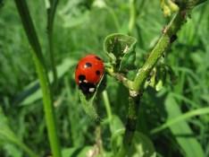 Ladybird aphids