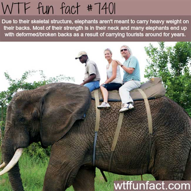 Elephants and their backs.