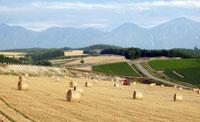 秋まき小麦