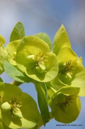 Fleur de l'euphorbe (toxique et corrosif)