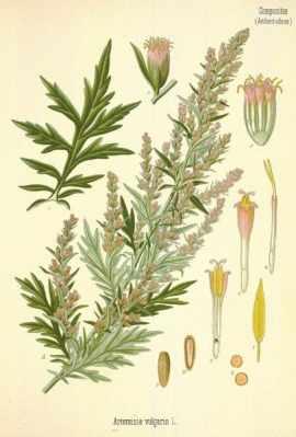 Moxa Artemisa vulgaris acupuntura valencia
