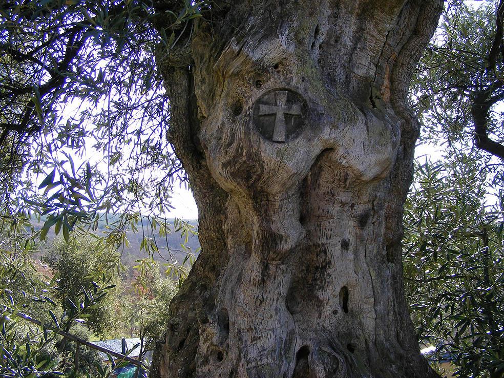 olivos centenarios en Labaniego