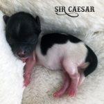 Tiny Biewer Terrier Puppy 1.8 oz