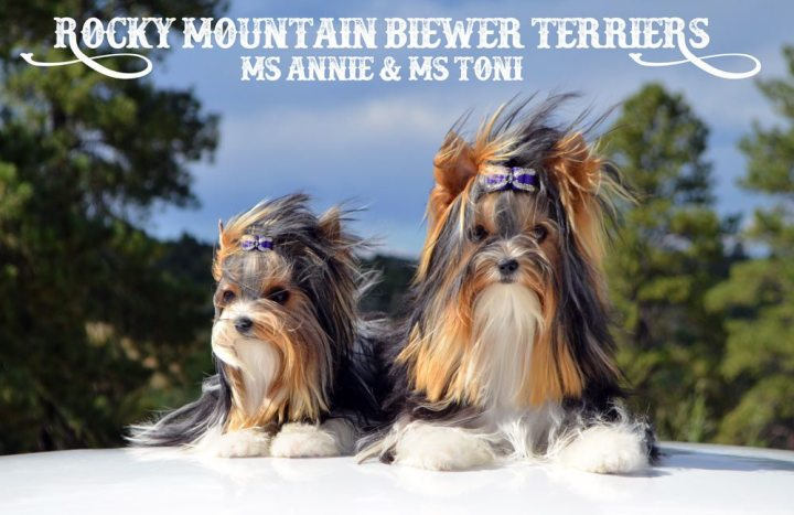 Biewer Terrier Girls Ms Annie & Ms Toni