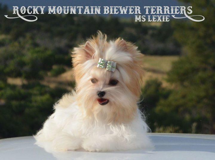 Ms Lexie Gold Dust Biewer Terrier