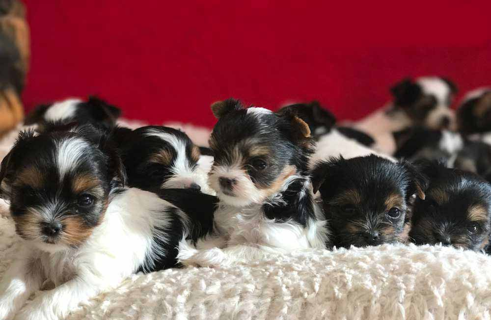 You Can Pay A Deposit On A Unborn Or Unlisted Biewer Terrier Puppy