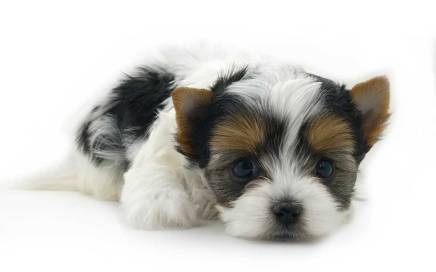 Rocky Mountain Biewer Terriers for Sweetwater