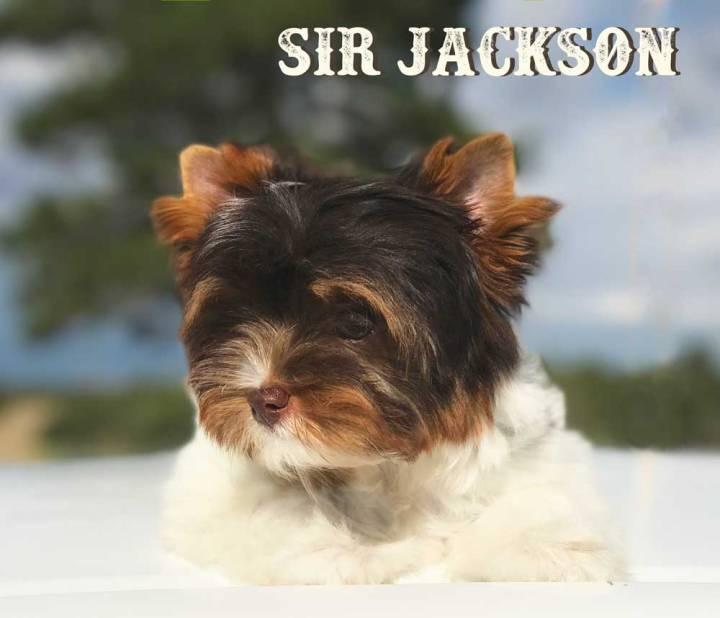 Sir Jackson Chocolate Biewer Terrier Boy