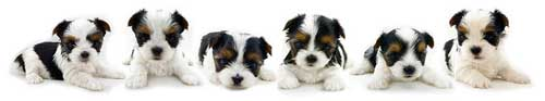 Rocky Mountain Biewer Terrier Puppies