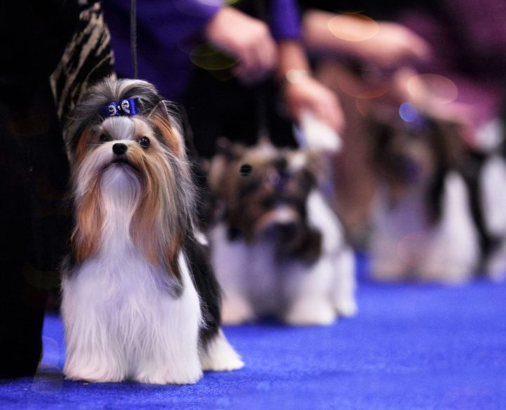Best in Show Biewer Terrier Donny