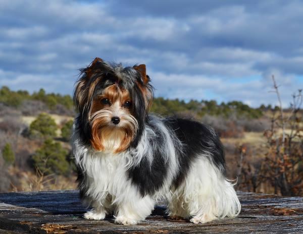 Miss Alexa Biewer Terrier Female for Sale