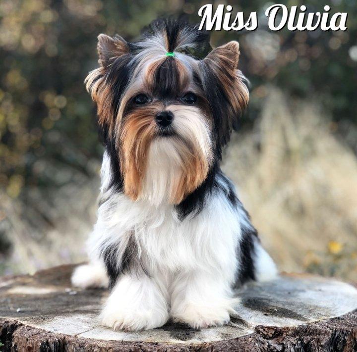 Biewer Puppy Olivia
