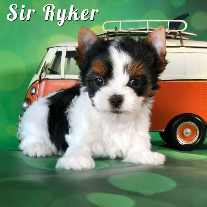 Biewer Puppy Sir Ryker