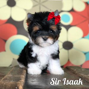 Isaak Mini Biewer Puppy