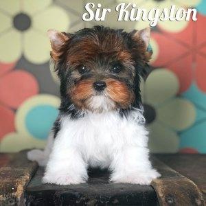 Kingston Biewer Puppy