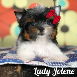 Available Biewer Terrier Puppies - Rocky Mountain Biewer Terriers