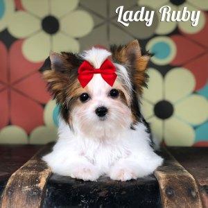 Ruby Mini Biewer Terrier
