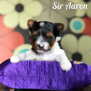Biewer Puppy Aaron