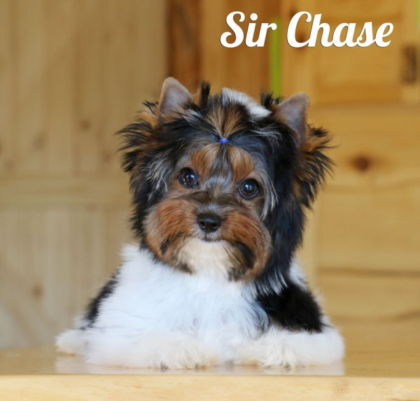 Biewer Puppy Chase