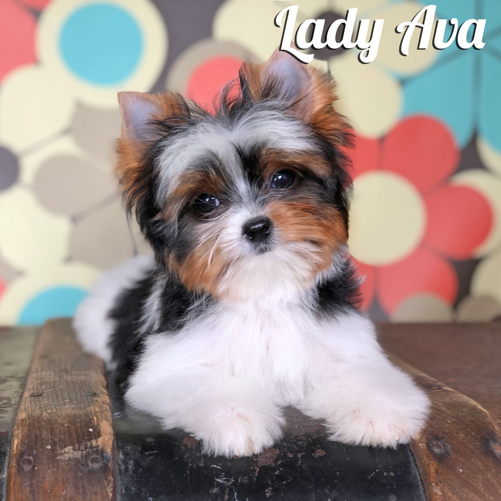 Mini Biewer Terrier Puppy Lady C Is Available At Biewerworldcom