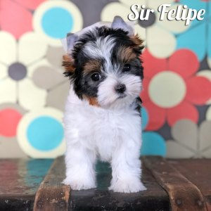 Biewer Puppy Felipe