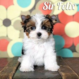 Felix Biewer Puppy