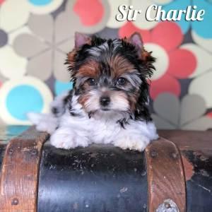 Biewer Puppy Charlie