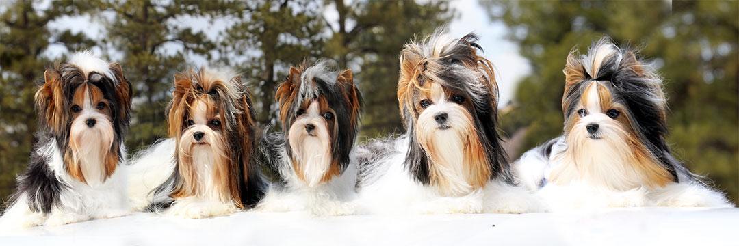 Rocky Mountain Biewer Terriers - Dolores, Colorado
