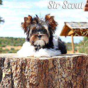 Scout Biewer Puppy