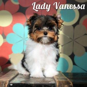Biewer Puppy Vanessa