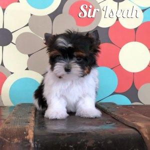 Iseah Biewer Puppy