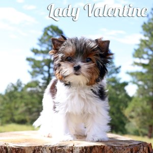 Biewer Puppy Valentine