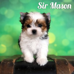 Biewer Puppy Mason