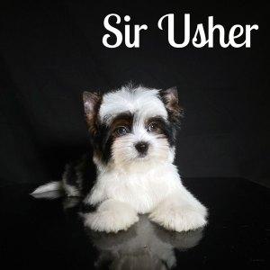 Usher Biewer Puppy