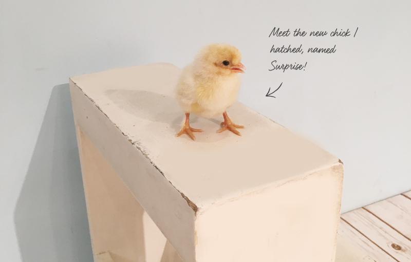 I finally hatched a chick!