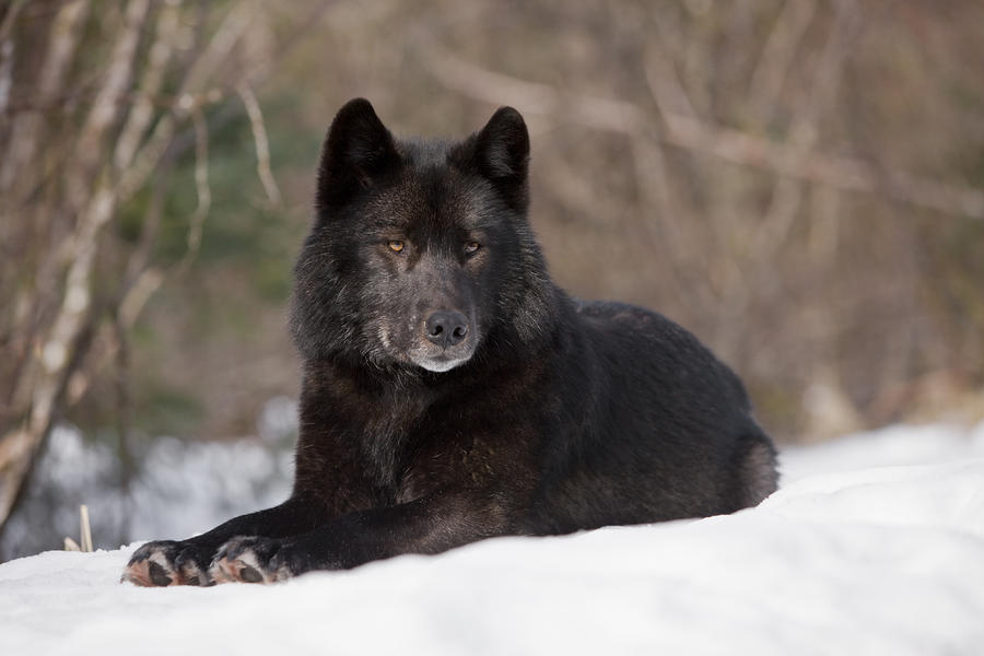 The Lone Black Wolf vs Alpha Male