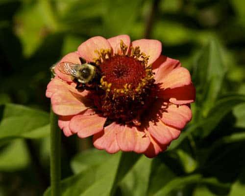 polinización de abejas zinnia