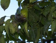 Black Spot infection in pear tree