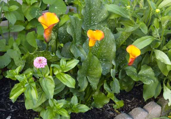 Organic Flower Garden Calla Lily Zinnias