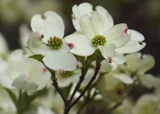 spring flower garden pictures Dogwood tree blooming